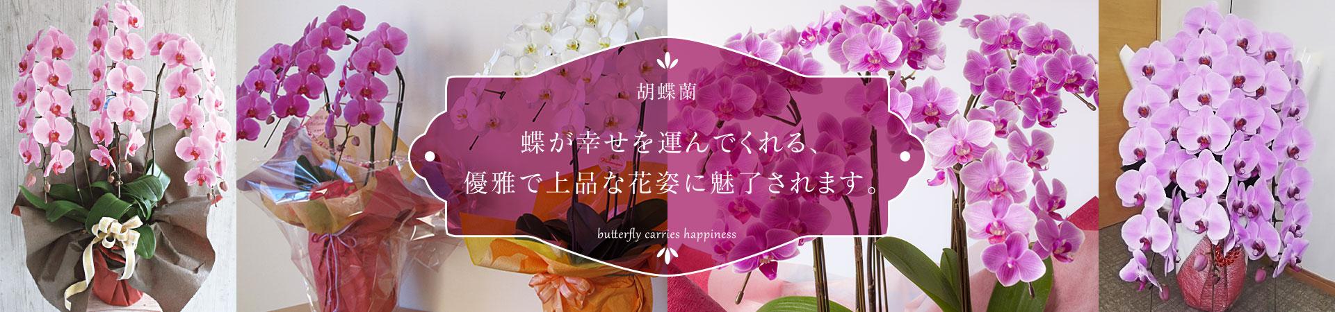 胡蝶蘭 蝶が幸せを運んでくれる、優雅で上品な花姿に魅了されます。