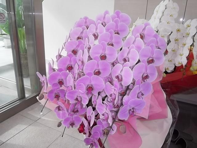 新社屋完成での5本立胡蝶蘭のピンク02