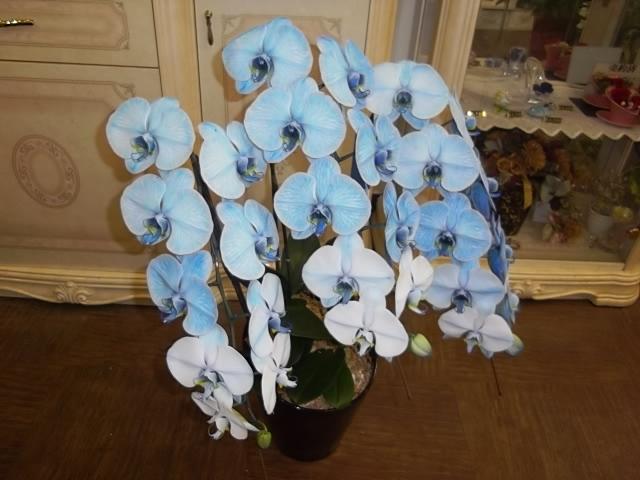青い胡蝶蘭・ブルーエレガント(要予約)01